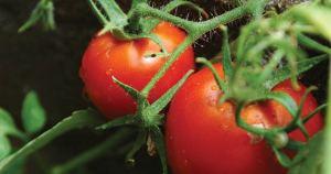 Terrific Tomatoes